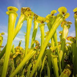 Yellow Pitcher Plant