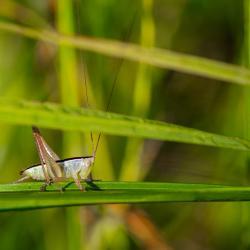 Lesser Meadow Katydid