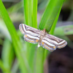 Floating-heart Water Lily Moth