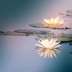 American White Water Lily Flower