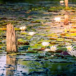 American White Water Lily Flowers