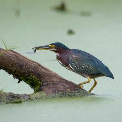 Green Heron w/minnow