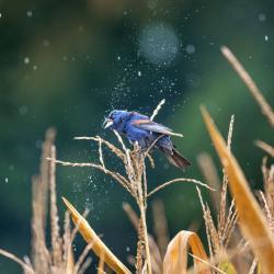 Blue Grosbeak in rain