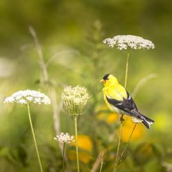 Goldfinch w/Parasol