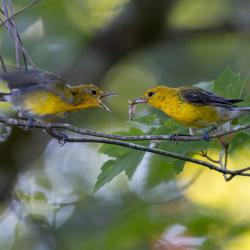 Prothonotary Warbler feeding Fledgling