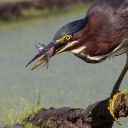 Green Heron Eating Minnow
