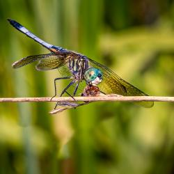 Dragonfly Eating Ant