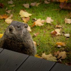 Groundhog at the porch popped his head up