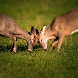 2 Spike Deer wrestling