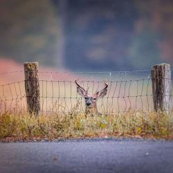 8 Point Buck thinking about jumping fence