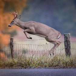 6 Point Buck Jumping Fence 2