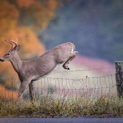 6 Point Buck Jumping Fence 5