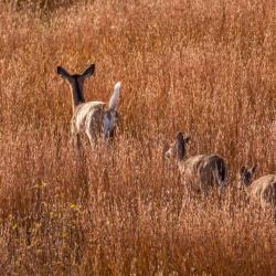 Doe and 4 Fawns