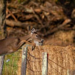 Doe Jumping a Fence 1