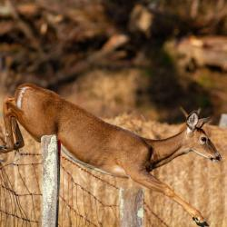 Doe Jumping a Fence 2
