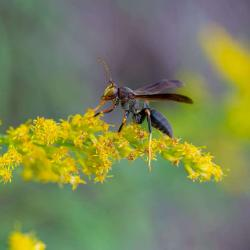 Wasp on Goldenrod Flower