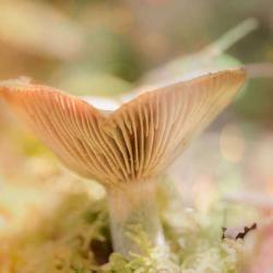 Funnel Cup Mushroom