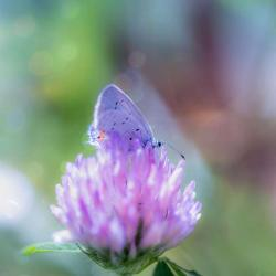 Eastern Tailed Blue Butterfly on Clover