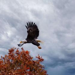 Bald Eagle flying off