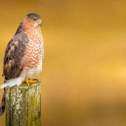 Coppers Hawk sitting on a post