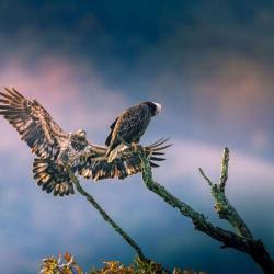 Immature Bald Eagle landing