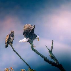 Bald Eagle getting settled