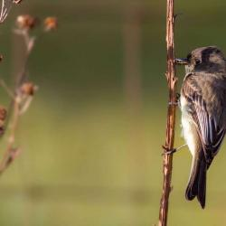 Eastern Phoebe just caught a bug