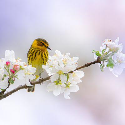 Cape May Warbler in Apple Blossoms