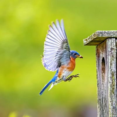 Eastern Bluebird feeding chicks