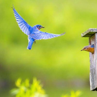 Eastern Bluebird in nesting box