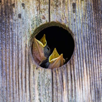 Eastern Bluebird chicks in nesting box
