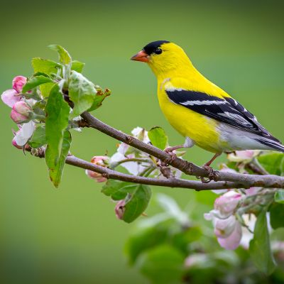 American Goldfinch Apple Blossoms