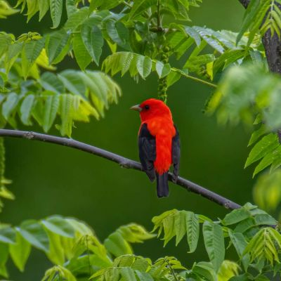 Scarlet Tanager in Cover