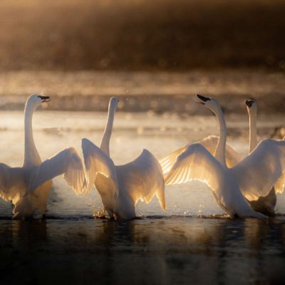 4 Tundra Swans-The Four Tenors