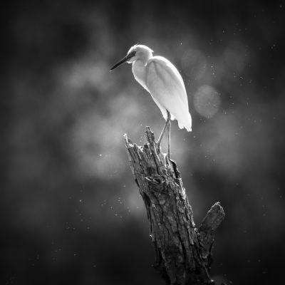 Blue Heron-Immature