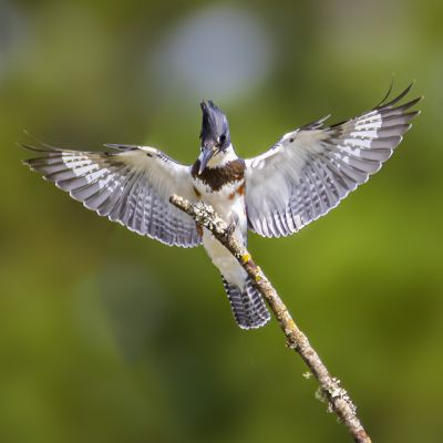 Belted King Fisher Pee Dee NWR