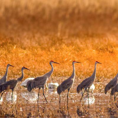 Sand Hill Cranes Pungo Lake
