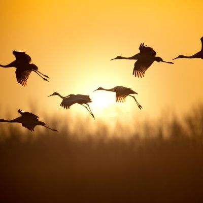 Sandhill Cranes at Sunrise