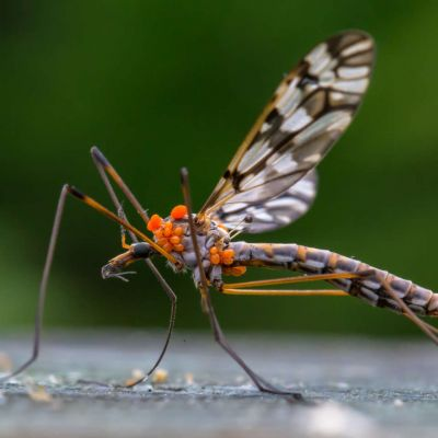 Crane Fly with mites