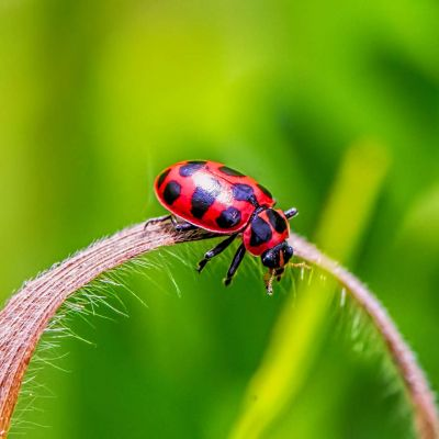 Pink-spotted Ladybug