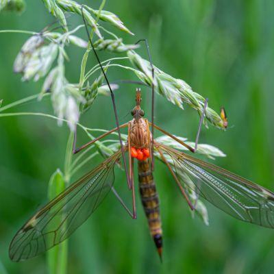 Crane Fly with orange mites