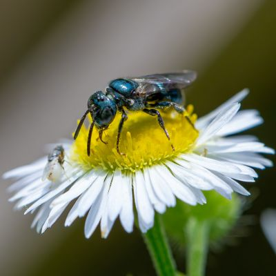 Blue Orchard Bee