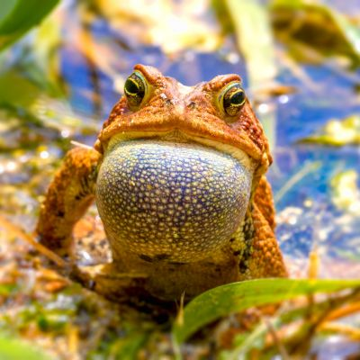 Fowler Toad Calling