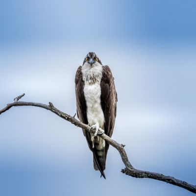 Osprey resting after the hunt