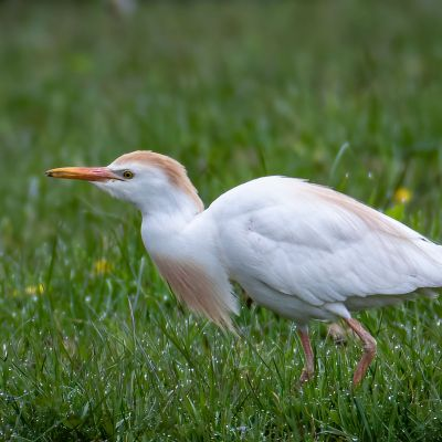 Cattle Egret with a bug