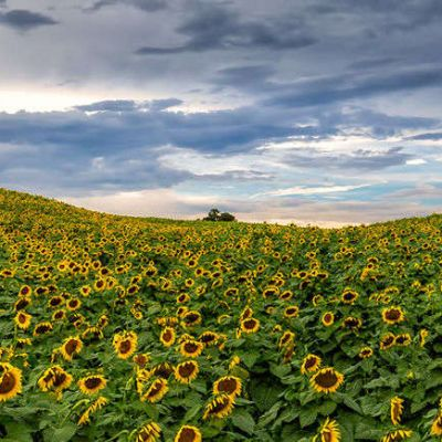 Beaver Dam Farm Sunflower Festival