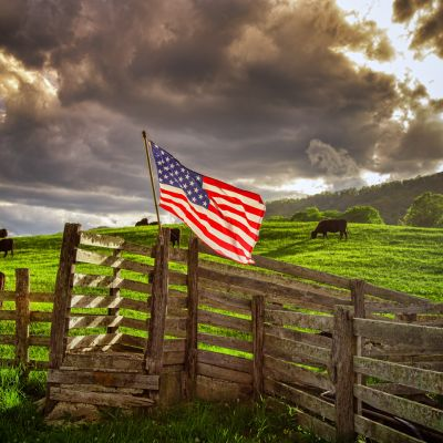 Cattle and American Flag