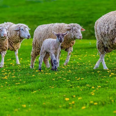 Fair Lawn Farm Sheep & Lamb