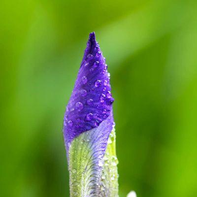 Wild Iris Flower Bud