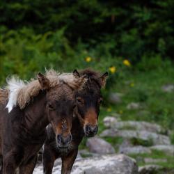 Wild Ponies Grayson Highlands09